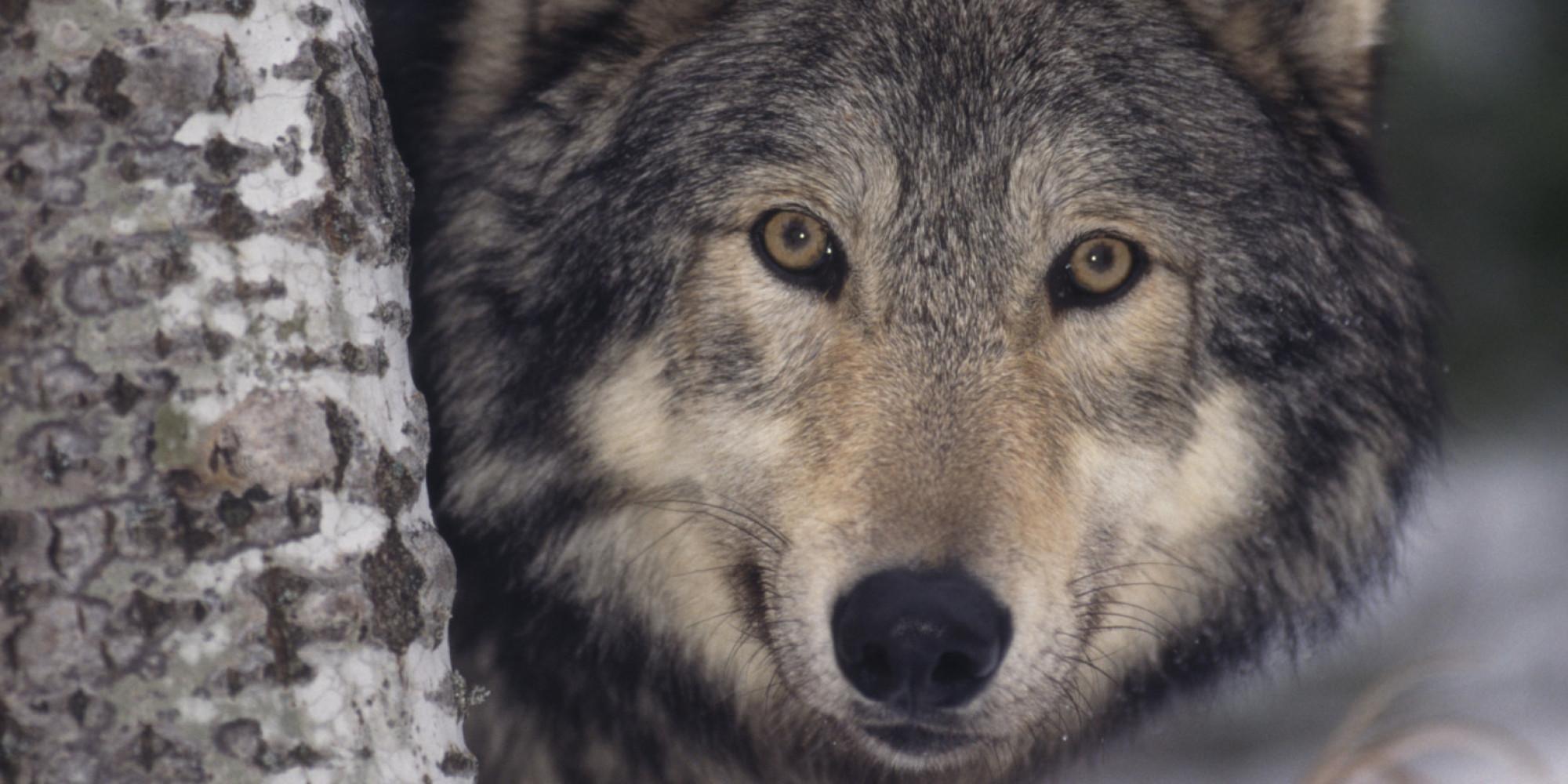 Fullsize Of Wolves For Sale