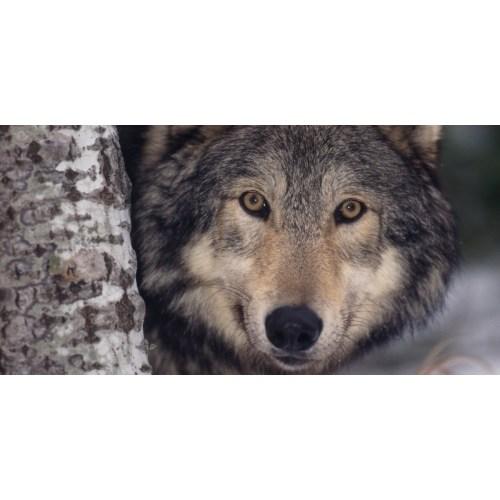Medium Crop Of Wolves For Sale