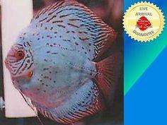 Yellow Checkerboard Discus Fish