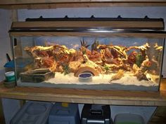 | Bearded Dragon, Hermit Crab Tank and Bearded Dragon Habitat