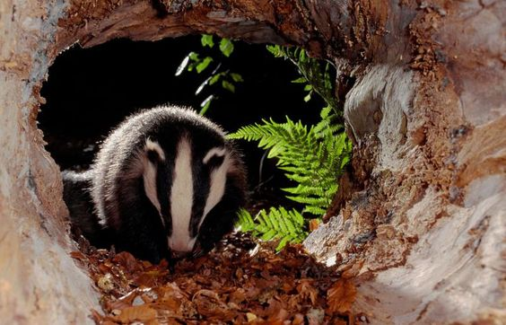 Badger in the woods: