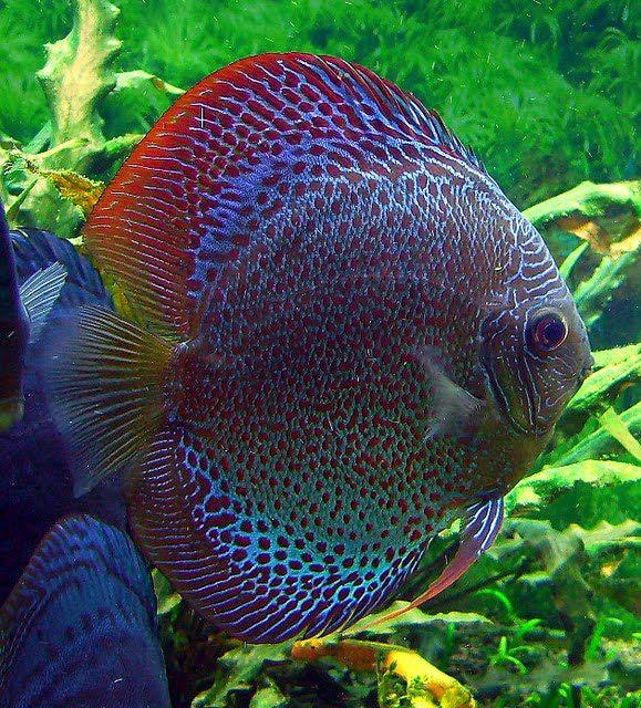 Ornamental Fish Photos With Names   Fish: Discus Fish, Freshwater Fish