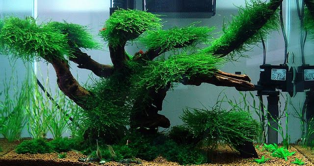 Aquascaping Ideas Low Maintenance Moss Tree Layout | cube for shrimp