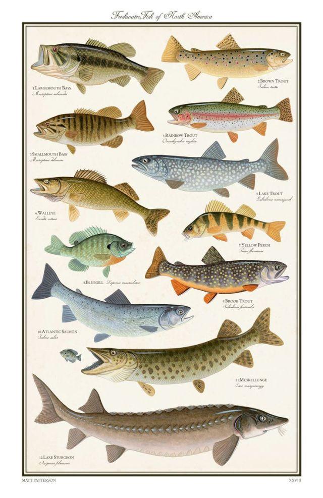 Freshwater fish north america freshwater gamefish of for Alaska freshwater fish
