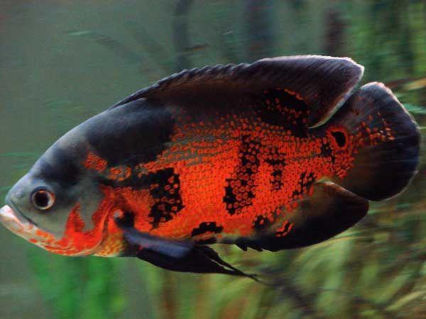 Oscar Cichlid: Aquariums Fish Oscars, Fish Freshwater, Freshwater