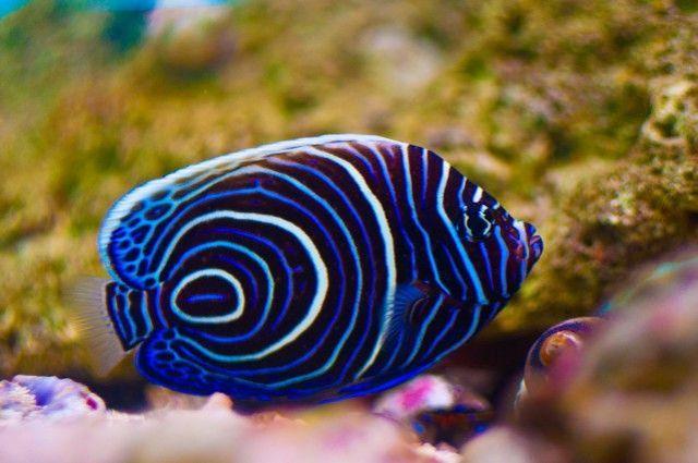 Saltwater Aquariums, Emperor Angelfish, Saltwater Fish, Water Animal
