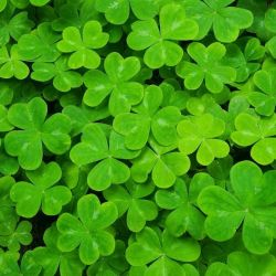 Shamrocks Oxalis Species Are Small Trifoliate Leaf Structure