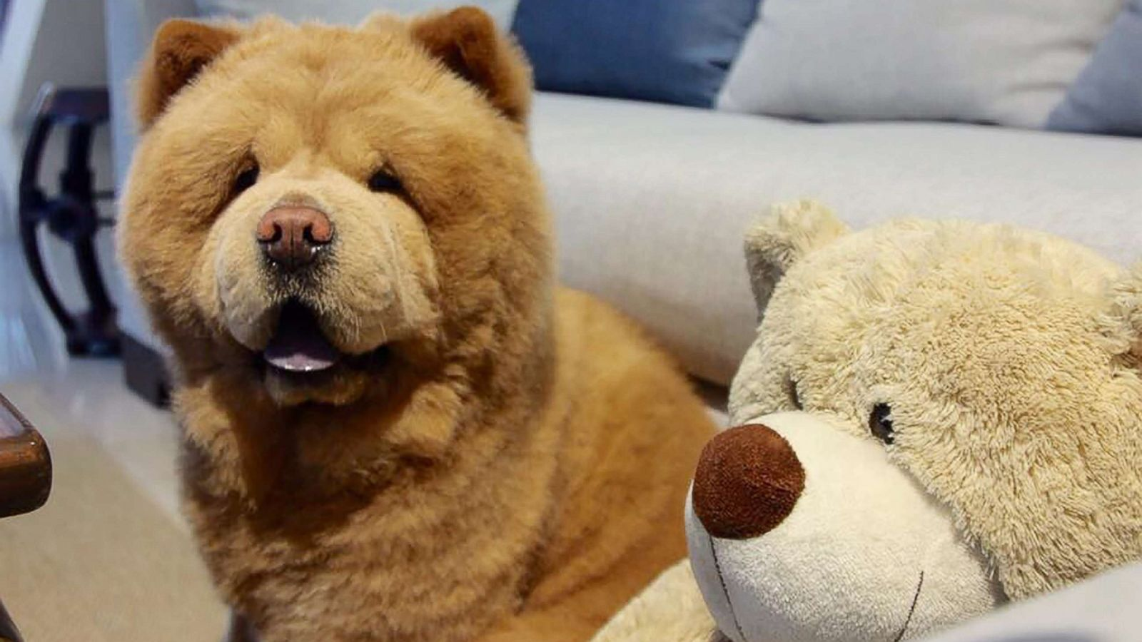 Riveting Adoption Fluffy Dog That Resembles Bear Takes Social Media By Storm Abc News Baby Chow Chow Walking Baby Chow Chow bark post Baby Chow Chow