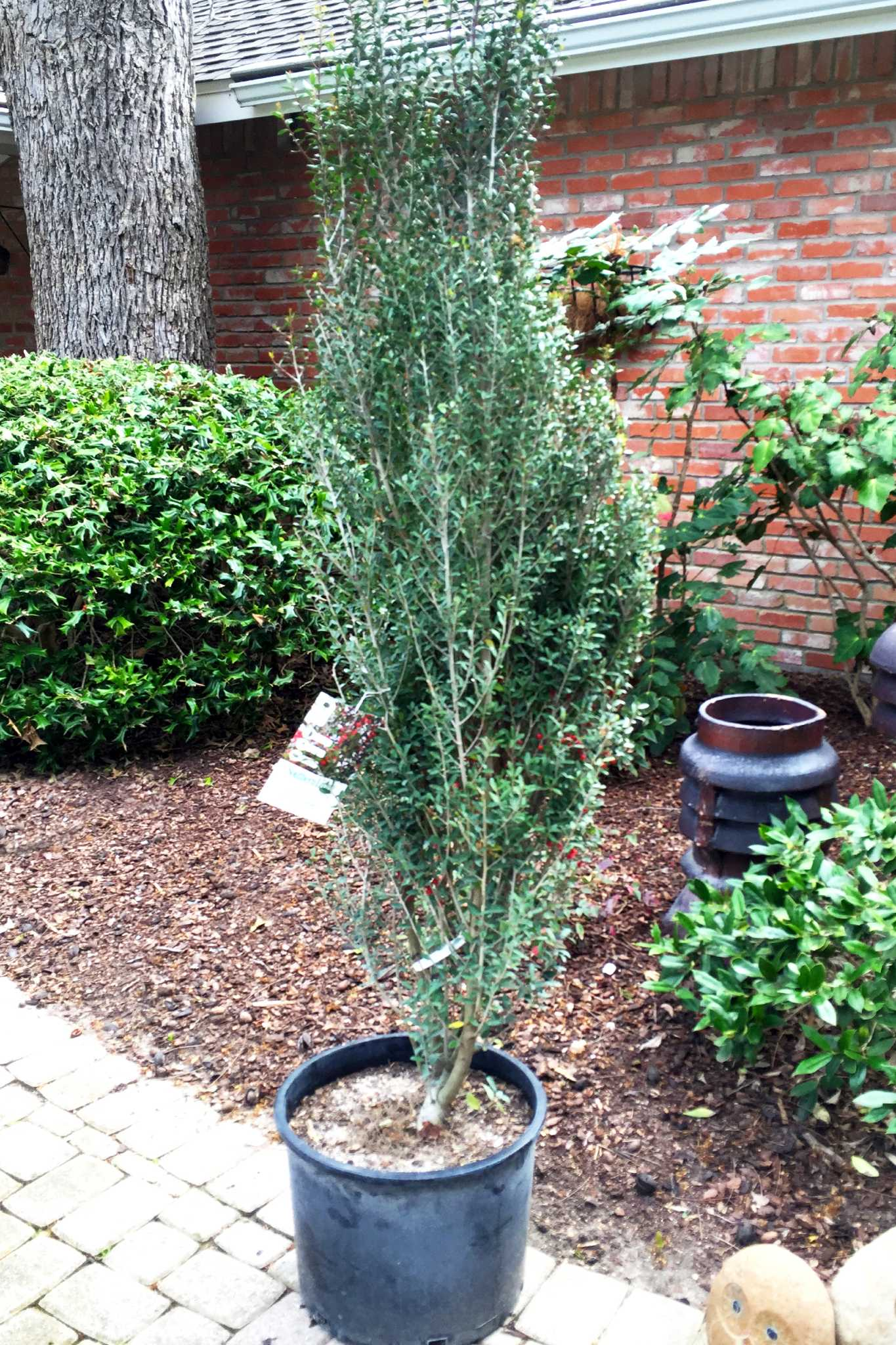 Affordable Peak Holly Promises To Stand Tall Nellie R Stevens Holly Images Nellie R Stevens Holly Pruning houzz-02 Nellie R Stevens Holly
