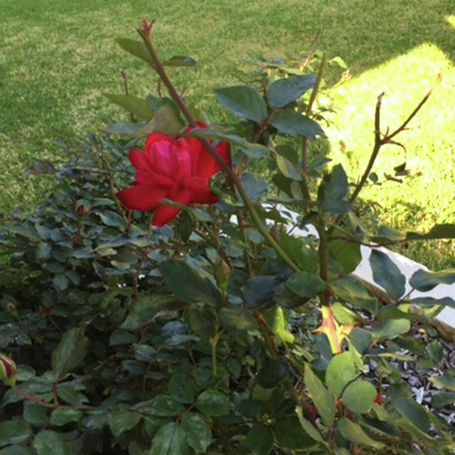 Comfortable Michigan Pruning Knockout Roses Knockout Rose Is Producing A Few Stems Neil Keep Checking Knockout Roses Summer Really Big Leaves Rosette Virus San Pruning Knockout Roses houzz 01 Pruning Knockout Roses