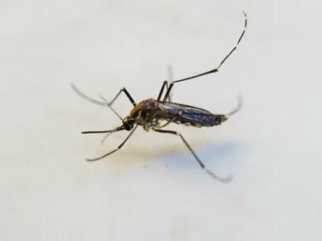 Mosquito Aedes aegypti, transmissor da dengue, vírus da zika e febre chikungunya (Foto: Junior Silgueiro/Gcom-MT)