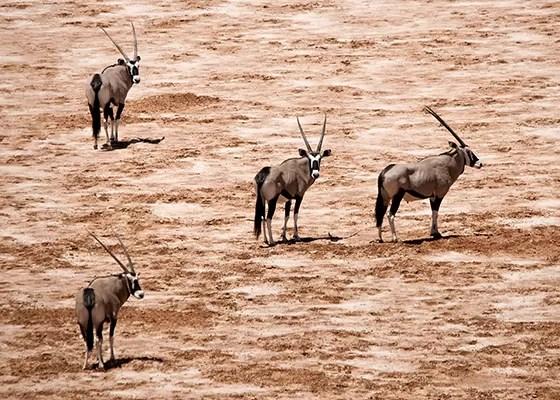 O órix é uma animal que se adapta bem a qualquer terreno desértico (Foto: © Haroldo Castro/Época)