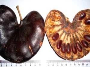 À esquerda, fruto da planta; à direita, sementes de onde a proteína é extraída. (Foto: Divulgação/Maria Luiza Vilela Oliva)  Proteína extraída de planta pode agir contra vários tipos de câncer fruto