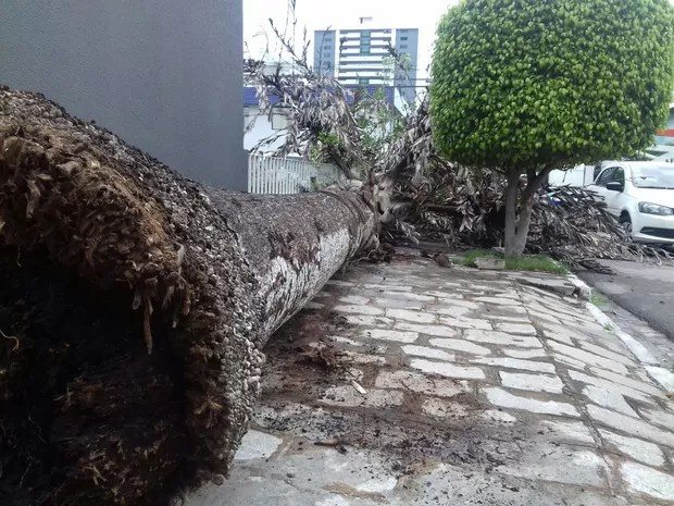 Árvore caiu na Rua Júlio Pires Ferreira, no Bairro Maurício de Nassau  (Foto: Pedro Jefferson/TV Asa Branca)