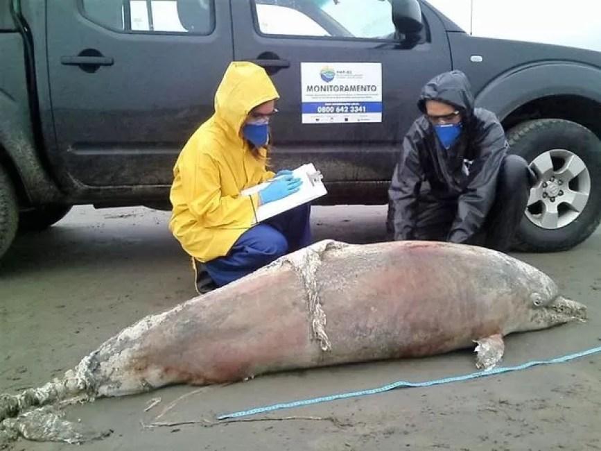 Golfinho foi encontrado em praia do Cibratel em Itanhaém, SP (Foto: Projeto Biopesca / Divulgação)
