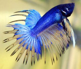Betta Fish Care ? How to Maximize the Lifespan of Your Betta
