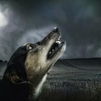 犬が遠吠えするワケ