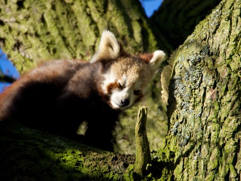 Red Panda Cup @ Whipsnade
