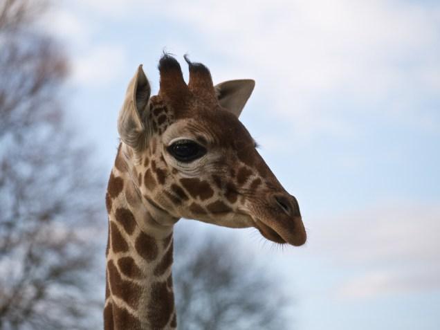 Giraffe 1 @ Whipsnade