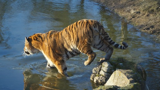 Tiger entering water @ Whipsnade