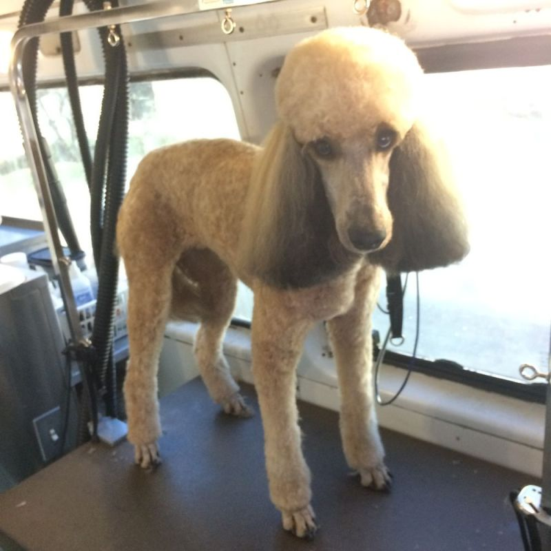 Large Of Poodle Puppy Cut