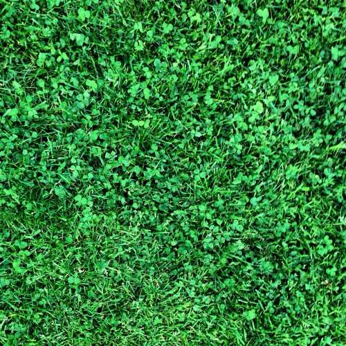 Medium Of Canada Green Grass Seed