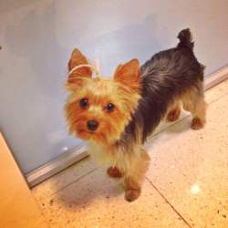 Small Crop Of Yorkie Puppy Cut