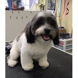 Magnificent Cutie Paws Grooming United Havanese A Havanese Photo A Puppy Cut Yelp Havanese Puppy Cut Images Havanese Puppy
