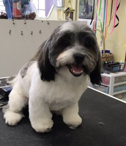 Small Of Havanese Puppy Cut