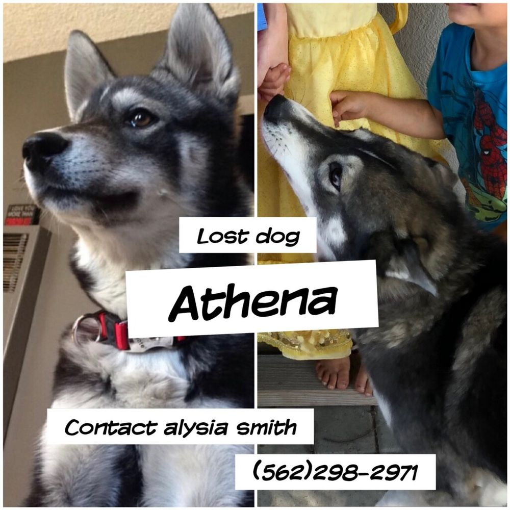 Fantastic Husky Price Photo Husky Baby German Shepherd Mixed Save A Bow Wow Rescue United Lost Lost A Husky German Shepherd Mixed Female Dog About Years I German Shepherd Mixed bark post German Shepherd Mixed With Husky