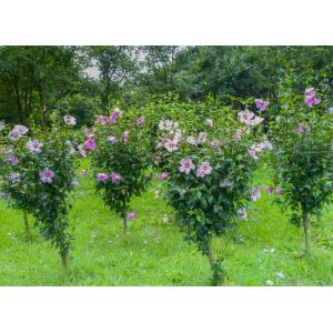 Fanciful Sharon Hedge Shrubs To Plant Options Rose Your Garden Bob Vila Rose Sharon Hedge S Sharon Hedge Images Rose
