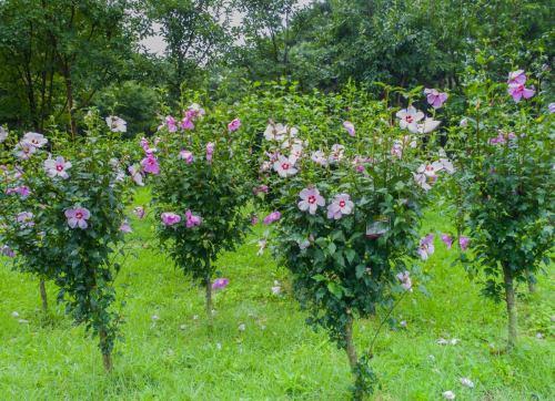 Medium Of Rose Of Sharon Hedge