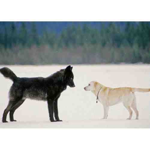 Medium Crop Of Wolf Vs Dog