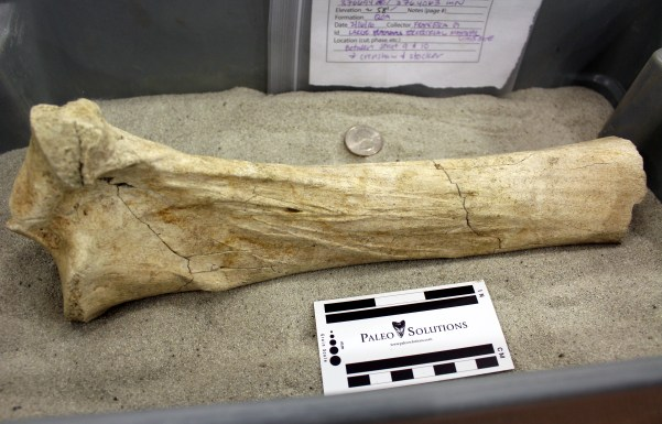 The ancient bison bone found during construction at the Martin Luther King Jr. Station excavation site. Photo: Joseph Lemon / Metro