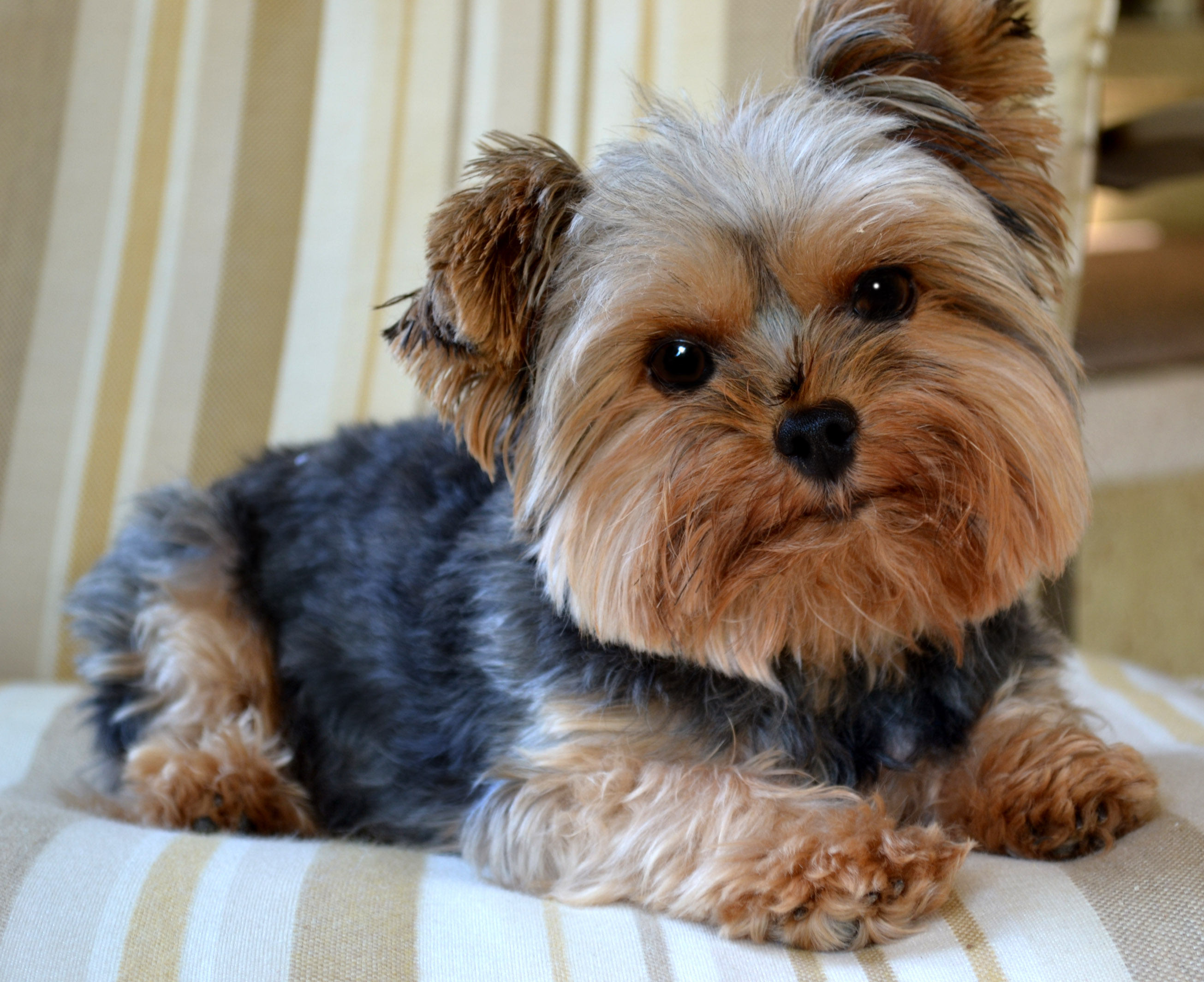 Innovative A Typical Yorkie What Is A Yorkie How To Groom A Yorkie Video How To Groom A Yorkie Yourself bark post How To Groom A Yorkie
