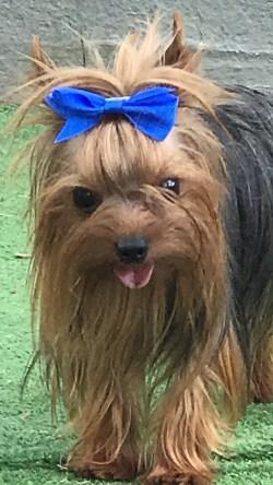 Aweinspiring Michigan Yorkie Pomeranian Mix Haircuts Sale