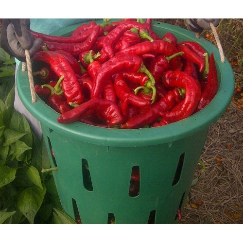 Medium Crop Of Jimmy Nardello Pepper