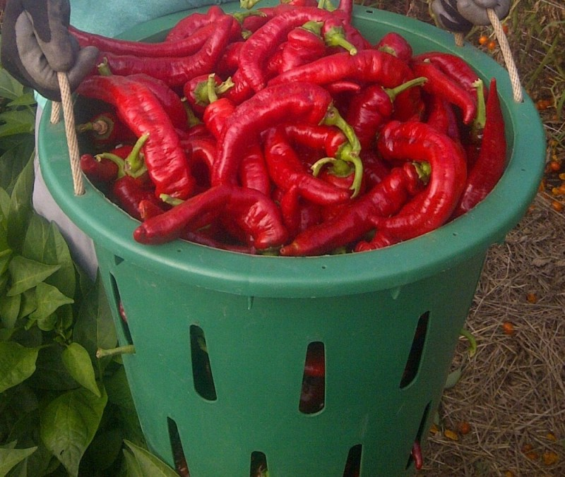Large Of Jimmy Nardello Pepper
