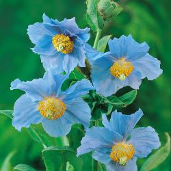 Small Crop Of Himalayan Blue Poppy