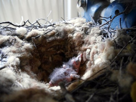 Chough chick in quarry nest aged fourteen days