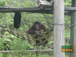 The wildman of Borneo, the orang utan, also makes an appearance at the Lok Kawi Wildlife Park Zoo