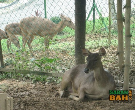 Antelope in enclosures at the Lok Kawi Wildlife Park Zoo
