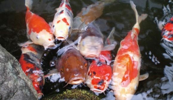 池から顔を出す鯉