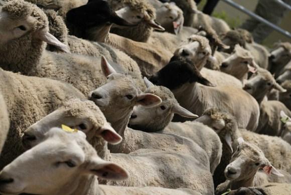 マザー牧場の羊の大行進