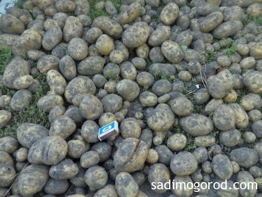 посадка картофеля семенами 1