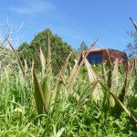 Homegrown aloe vera at Casita Verde