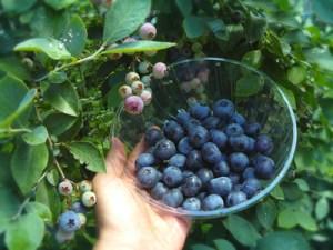 img_blueberry_02