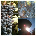 Cabernet Sauvignon Harvest--August 22