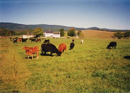 Polyface cows grazing - www.thesalatinsemester.com