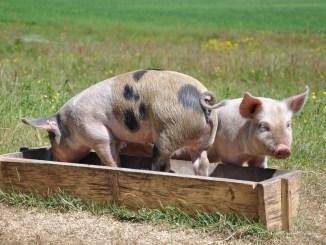 pigs-662001_960_720